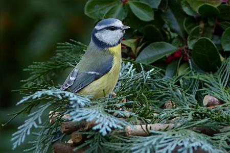 鸟, 鸣禽, 山雀, 蓝雀, 蓝山 caeruleus, 花园, 觅食