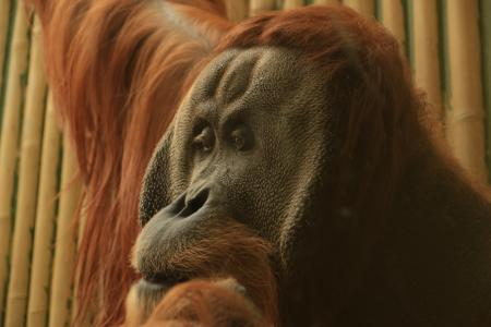 猩猩猩猩, 旧世界猴, 猴子, 灵长类动物, 猿, 动物园, 长长的头发