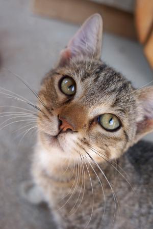 猫, 可爱, 虎斑猫, 家猫, 看, 头, 宠物
