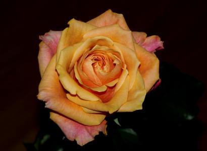 上升, 花, 橙色, 玫瑰-花, 自然, 花瓣, 植物