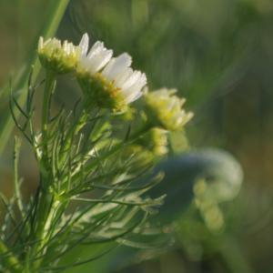 洋甘菊, 草甸, 颜色, 花, 黄色, 罗莎, 发光
