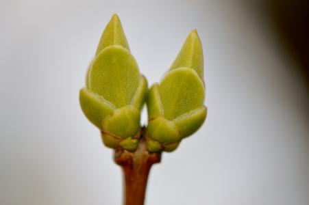 花蕾, 开花, 绽放, 自然, 植物, 关闭, 春天