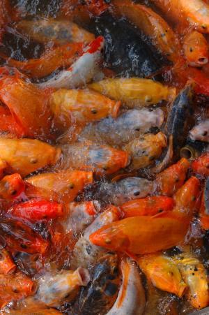 鱼, 帐篷, 橙色