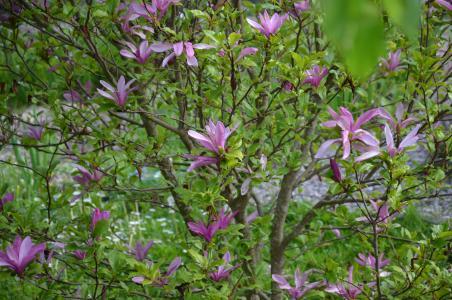 花灌木, 紫罗兰色, 春天, 自然