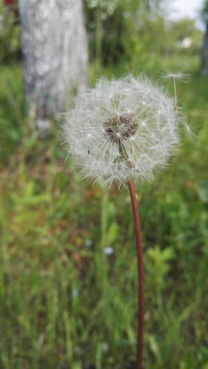 蒲公英, 春天, 夏季, 自然, 植物, 花, 花园