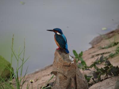 小蓝翠鸟, 圣歌, sadhankeri, 翠鸟, 野生动物, 水, 自然
