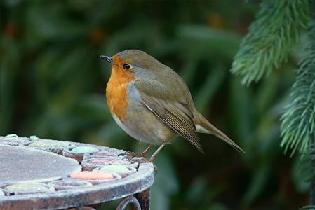 知更鸟, erithacus rubecula, 小的鸟, 觅食, 花园, 鸟, 野生动物