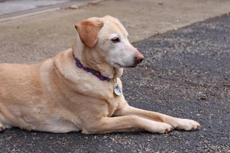 狗, 宠物, 金毛猎犬, 拉布拉多, 救援, 黄色, 小猎犬