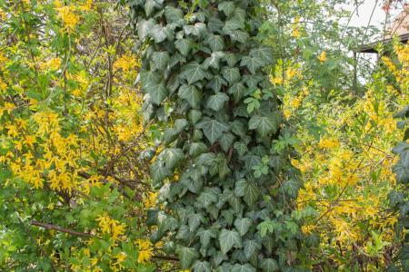 常春藤, 绿色, 黄色, 日志, 登山者, 常春藤叶, 叶子