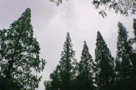 树, 的分支, 天空, 秋天, 水杉