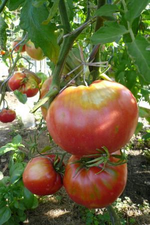 西红柿, 蔬菜, 花园, 食品, 弗里施, 健康, 番茄