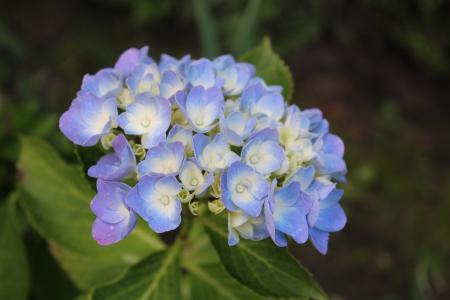 绣球花, 开花, 绽放, 蓝色, 花, 绣球花, 花园