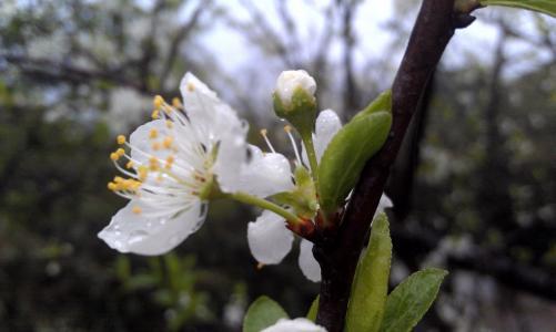 桃花, 桃花开, 花, 植物