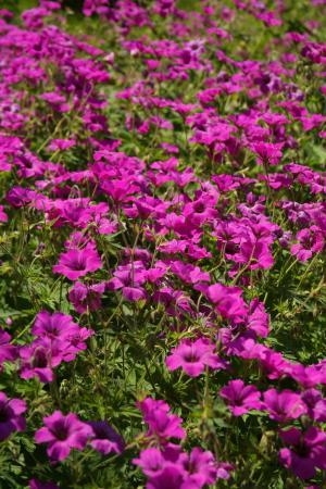 野, 开花, 绽放, 粉色, 花, 植物, 紫色