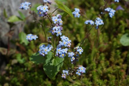 忘了, 花, 春天, 蓝色, 花园