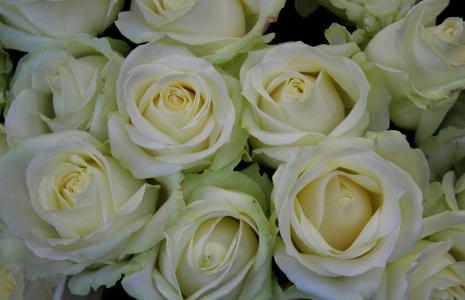 白玫瑰, 玫瑰, 白色, 市场, 射击俱乐部