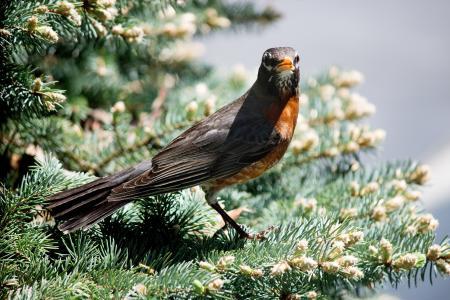 知更鸟, 鸟, 野生动物, 自然, 野生, 分公司, 树