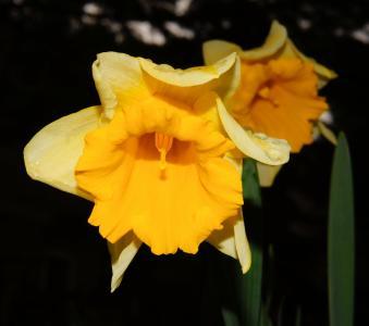 水仙, 开花, 绽放, 黄色, 水仙花, 春天, 黄水仙