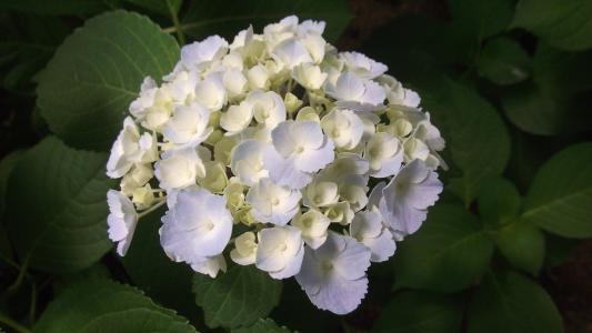 绣球花, 园艺, 花, 舒适
