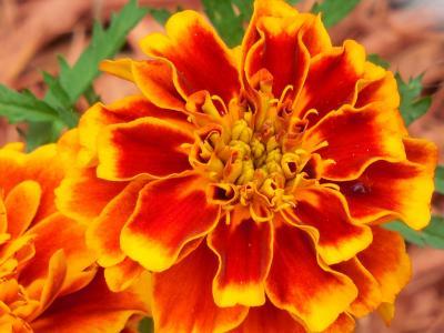 年度, 万寿菊, 植物, 黄色, 花园, 花, 开花