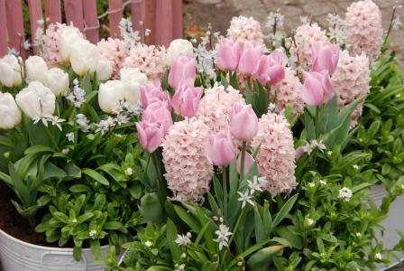 郁金香, 春天, 植物区系, 花, 粉色, 白色