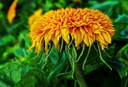 万寿菊, 花, 开花, 绽放, 黄色, 夏天花