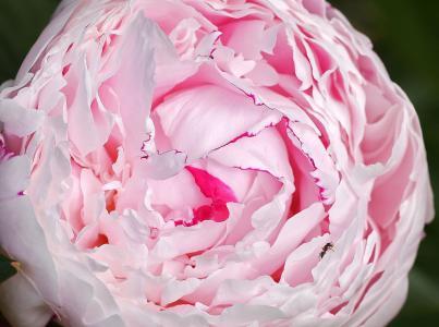 牡丹, 蚂蚁, 茂盛, 花瓣, 球, 粉色, 白色