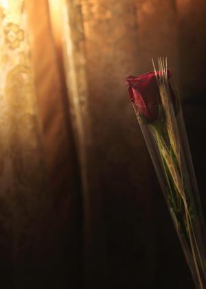 红色, 玫瑰, 花, 窗帘, 光