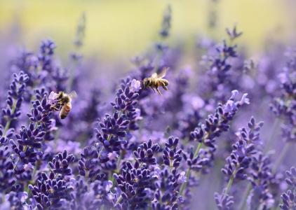 熏衣草, 蜜蜂, 夏季, 紫色, 花园, 花蜜, 真正薰衣草