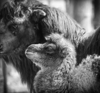 骆驼, 小马驹, 骆驼宝宝, 新手, 动物, 动物, 有蹄类动物