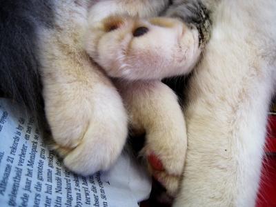 猫, 爪子, 软, 丰满, 放松, 白色