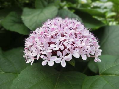 绣球花, 粉色, 美丽的港口, 植物, 自然, 叶, 花