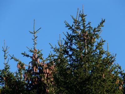 松果, 水龙头, 树, 针叶树, 普通云杉, 云杉冷杉, 红云杉