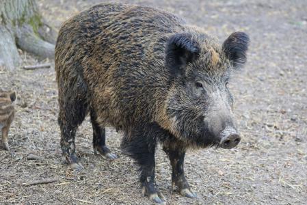 野猪, 猪, 母猪, 自然, 动物, 公园, 动物园