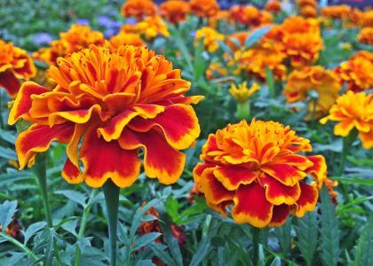 万寿菊, 花, 植物, 开花, 花园, 春天