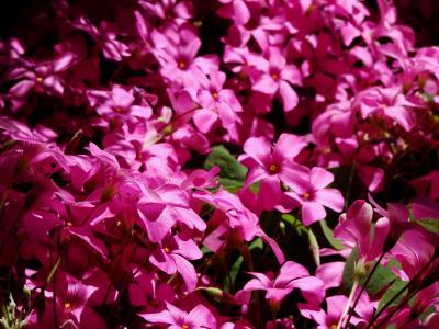 樱, 花, 罗莎, 自然, 花瓣, 多彩, 美
