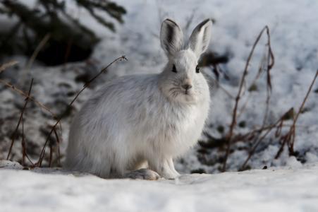 雪野兔, 兔子, 小兔子, 户外, 野生动物, 自然, 白色