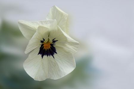三色堇, 花, 开花, 绽放, 紫罗兰色, 春天, 白色
