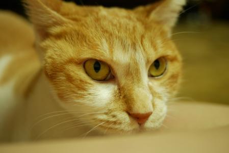 猫, koreashorthair, 可爱, short-hair 猫, 鼻短, 韩国短发, 街头猫