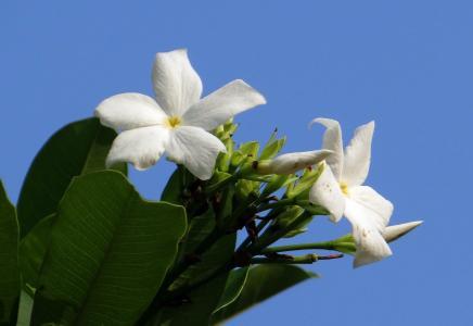 花, 白色, 海芒果, 马达加斯加磨难豆, odollam 树, 粉红眼海, 狗克星