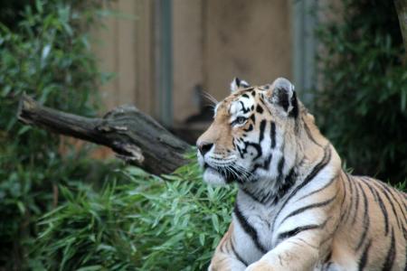 老虎, 猫, 动物园, 动物, 捕食者, 自然, 大猫