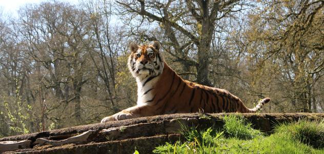 老虎, 野生动物, 食肉动物, 捕食者, 野生, 猎人, 动物