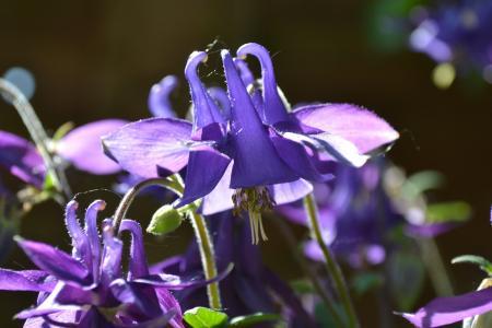 科伦拜恩, 耧, 花, 紫罗兰色, 紫色, 野生花卉, 小屋庭院植物
