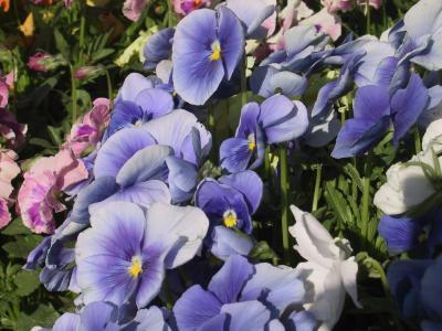 花, 三色堇, 蓝色, 自然, 花, 植物, 紫色