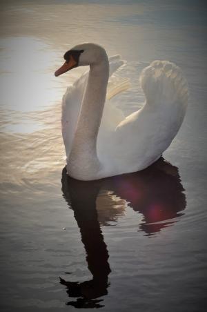 天鹅, 湖, 鸟, 水, 池塘, 美琪大, 动物