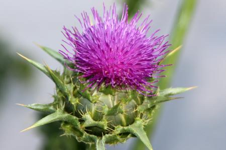 水飞蓟, 尖尖的花, 野生植物, 夏季, 多刺, 发痒, 植物
