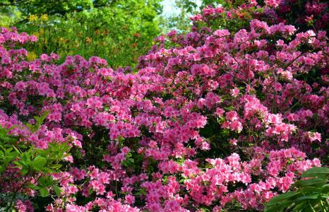 杜鹃, 杜鹃, 花, 春天, 绽放, 关闭, 花园