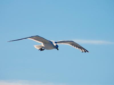 海鸥, 海鸥, 飞, 滑翔, 帆, 优雅, 鸟