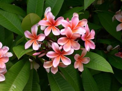 鸡蛋花, 花, 鸡蛋花, 植物, 白色, 红色, 自然