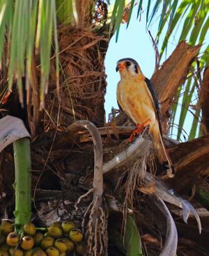 古巴, 红隼, 棕榈, 棕榈坚果, 复叶, 猛禽, 喙